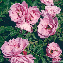 Photo: Bodendecker Pink Roadrunner®, Züchter: W. Kordes' Söhne 2001