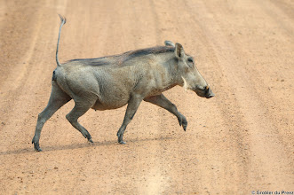 Photo: Walking on high heels... A Warthog in the Marakele National Park, South Africa.