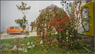 Photo: Piata 1 Decembrie 1918, spatiu verde, magnolie, cires pendul, mar ornamental - 2017.11.01