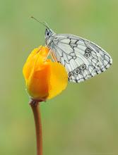 Photo: Demi-Deuil, Melanargia Galathea, Marbled White http://lepidoptera-butterflies.blogspot.com/