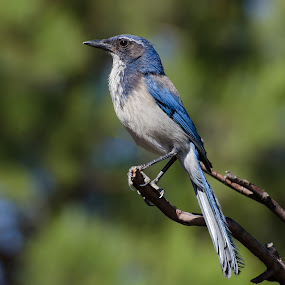 Scrub Jay by VJ Thomas - Animals Birds ( blue, jay, birds )