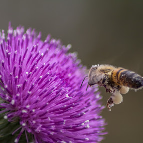 Scotch Thistle Meets Bee # 5 by Anthony Rutter - Nature Up Close Flowers - 2011-2013 ( scotch thistle, honey bee )