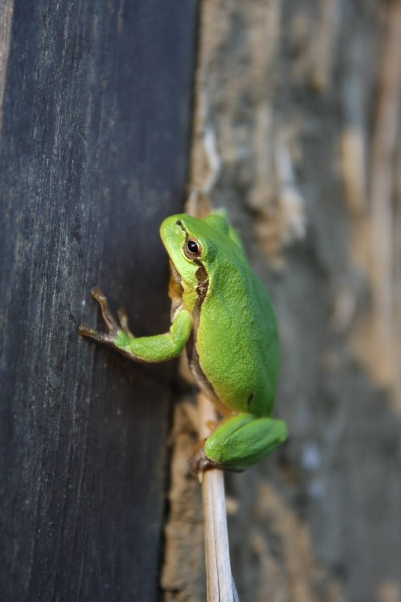 European tree frog.  Gatalinka.
