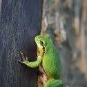 European tree frog.  Gatalinka.