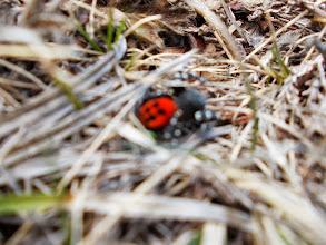Photo: une araignée rouge à points noirs , non je n'ai pas fumé