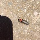 Lightning bug or Firefly