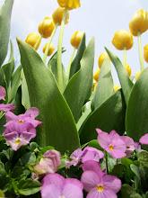 Photo: Purple violets and yellow tulips under a blue sky at Wegerzyn Gardens in Dayton, Ohio.