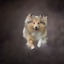 Flying sheltie by 'Monique Smit - Animals - Dogs Running ( sheltie, forest, flying, animal )
