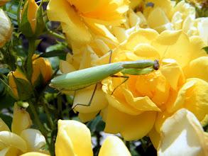 Photo: La mante aime aussi flairer les roses !
