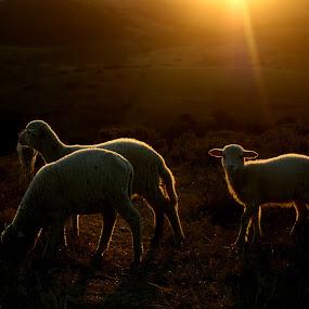 Sunset Sheep by Ashley Vanley - Animals Other Mammals