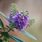 Purple flowering hebe