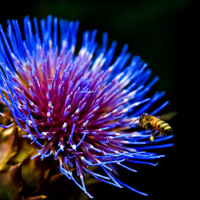 The Gatherer by Ron Plasencia - Nature Up Close Flowers - 2011-2013 ( pollen, thistle, ron plsencia, blue, honey bill, flowers, insects, close up )