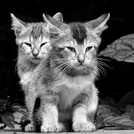 Kitten  by Asif Bora - Black & White Animals (  )