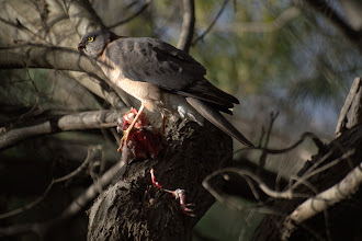 Photo: Collared Sparrowhawk