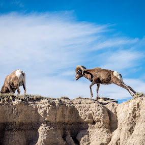 Morning Stretch by Steve Hall - Animals Other Mammals ( big horn sheep, badlands national park )
