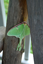 Photo: Luna moth at Half Moon Pond State Park