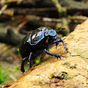 Forest dung beetle
