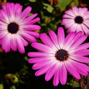 Triple Play by Laura Bentley - Nature Up Close Flowers - 2011-2013 ( canada, purple, alberta, petals, summer, flowers, garden )