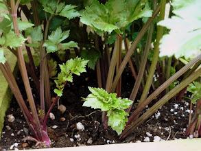 Photo: 'Redventure' celery