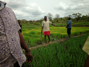 Photo: Kokou Joseph Adokanou, center, and Abel Gbadomi, right, in Abel's SRI field. The bright green plants behind them are what was left in the nursery after transplanting 1.5 ha using SRI methods. Being cautious, Abel planted a normal-sized nursery, and only ended up needing  small portion of the seedlings. Photo by Devon Jenkins, Togo, March, 2014.