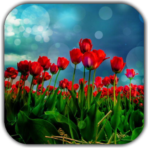 Red Tulips Live Wallpaper