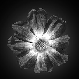 by Abdul Rehman - Black & White Flowers & Plants
