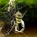 Signature spider
