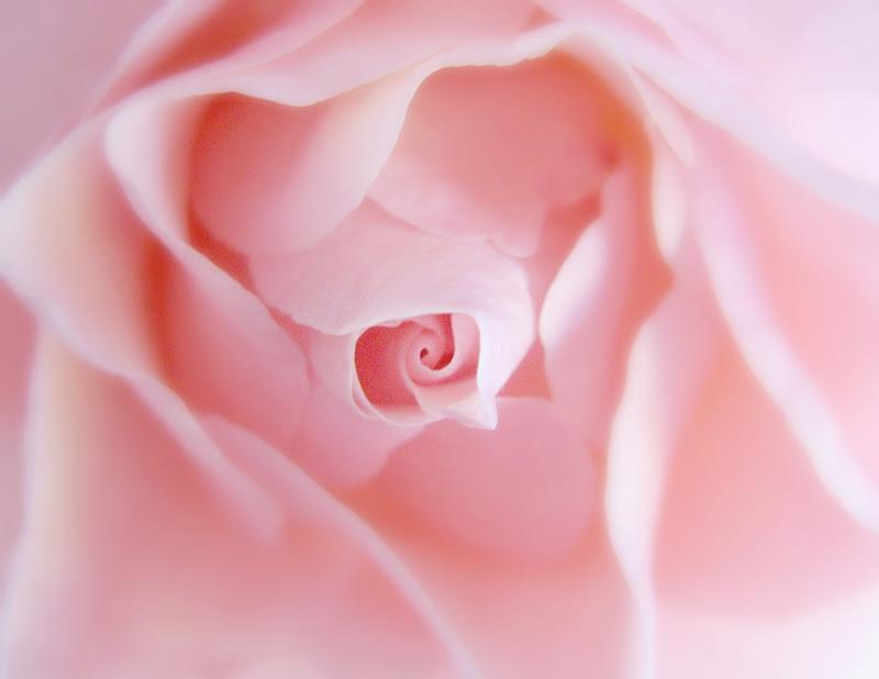 Rosa di maggio di donyb
