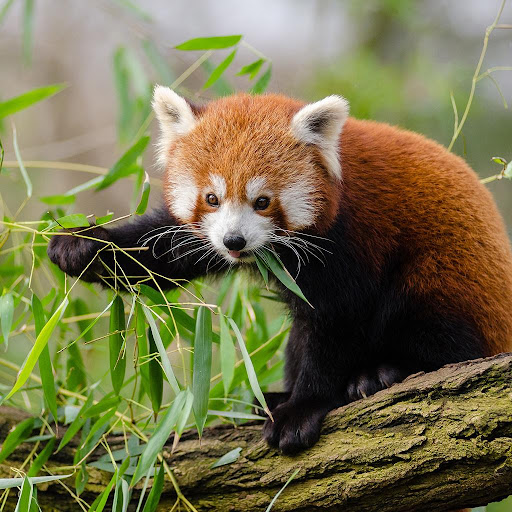 Red Pandas Puzzle Rotate FREE 1.0 screenshots 1
