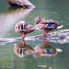 Mallard, wild duck (females)
