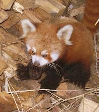 Photo: ein kleiner roter Panda