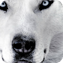 White Wolf Pack 2 Wallpaper icon