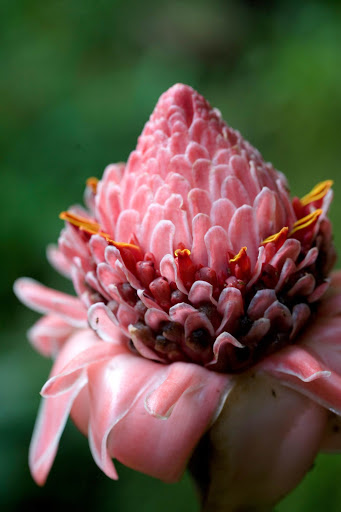 tropical-flower-dominica.jpg - A striking tropical flower in Dominica.
