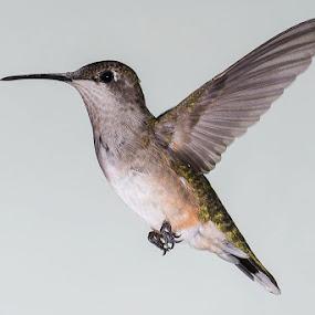 Hummingbird frozen in flight by Eric Peek - Animals Birds ( hummingbird high speed flash frozen wings )