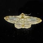 Sigela brauneata Moth