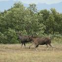 Elk Moose