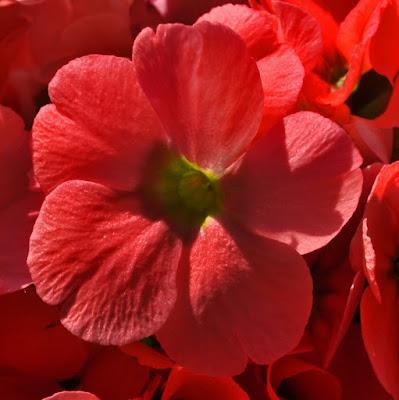 Begonia Gigante di Dicinquemila