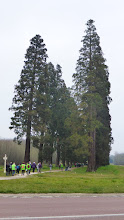 Photo: L'allée des séquoïas