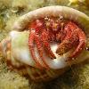 Hermit crab. Cangrejo ermitaño