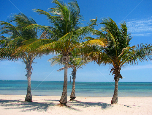 Palm Trees Near Miami Florida By Rona Proudfoot