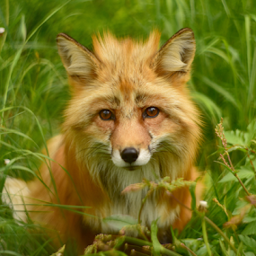 summertime by Kristin Smestad - Animals Other Mammals ( petzval, fox, red, green, 85mm, summer, animal, norway )