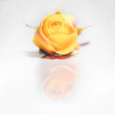 Rosa di maurizio_varisco