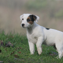 Jack Russell Terrier Dogs Wall icon