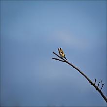 Photo: Bird N°48 Goldfinch  Latin: Carduelis carduelis