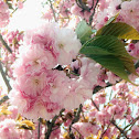 Sakura (Hundred Blossom)