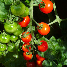 Photo: August; tomatoes
