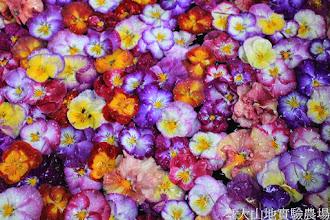 Photo: 拍攝地點: 梅峰-溫帶花卉區 拍攝植物: 三色堇 和 香堇 拍攝日期: 2015_02_09_FY
