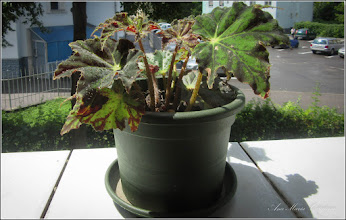 Photo: 2016.07.30 - din balcon - - begonia rex