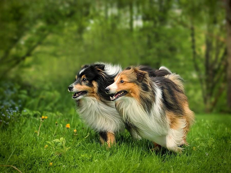 by Jane Bjerkli - Animals - Dogs Running (  )