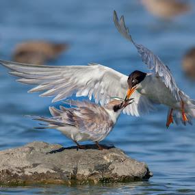 Forster's tern food exchange by Alex Sam - Animals Birds ( bird, food exchange, tern )